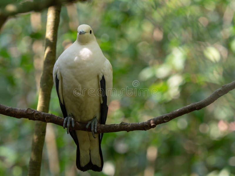 Impérial-pigeon pie ( ; Ducula bicolor) ; être perché sur une branche avec la nature verte a brouillé le fond de bokeh photos libres de droits