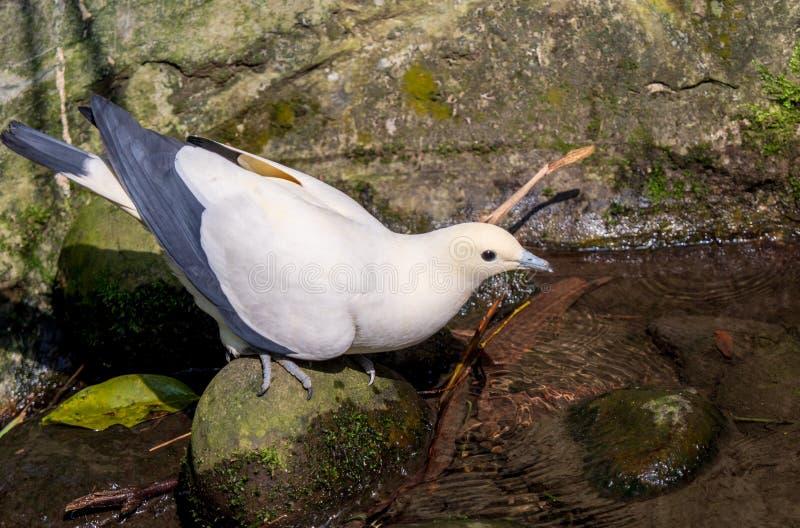 Impérial-pigeon pie ( ; Ducula bicolor) ; être perché sur une roche dans ensoleillé avec l'espace de copie photographie stock libre de droits