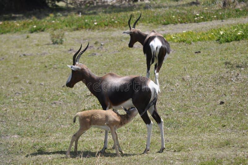 The Impala. /ɪmˈpɑːlə, -ˈpælə/; Aepyceros melampus is a medium-sized antelope found in royalty free stock image