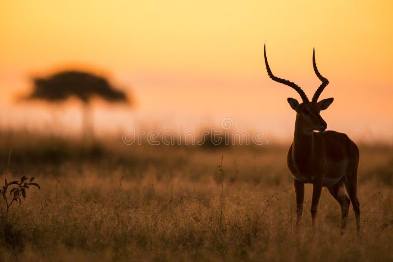 Impala που σκιαγραφείται αρσενικό στην ανατολή στοκ εικόνες