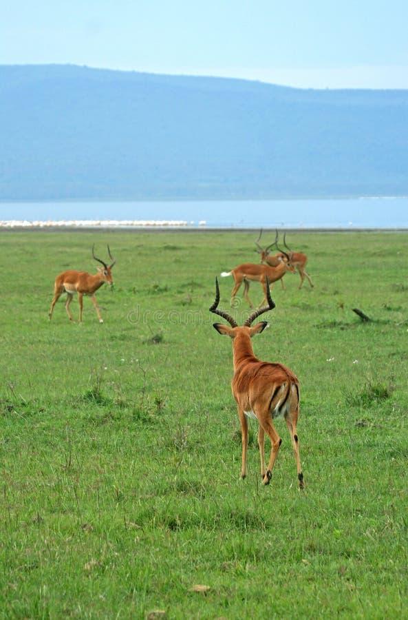 impala стоковое изображение