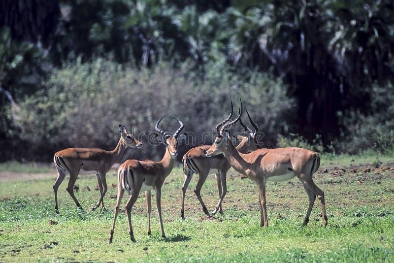 impala images libres de droits