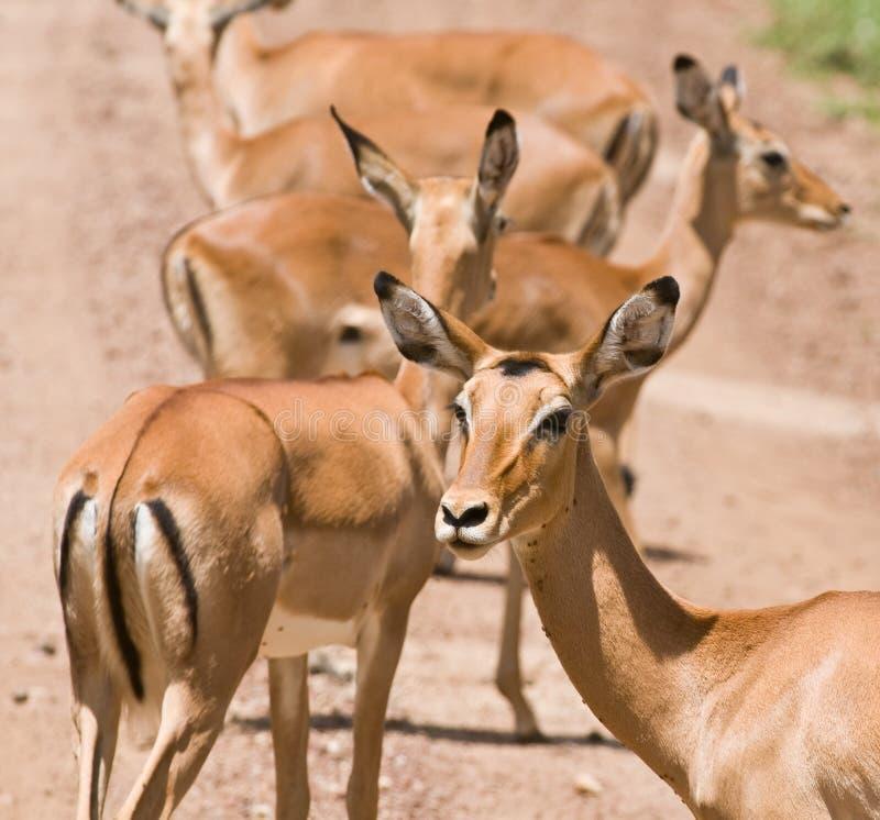 Impala stockfoto