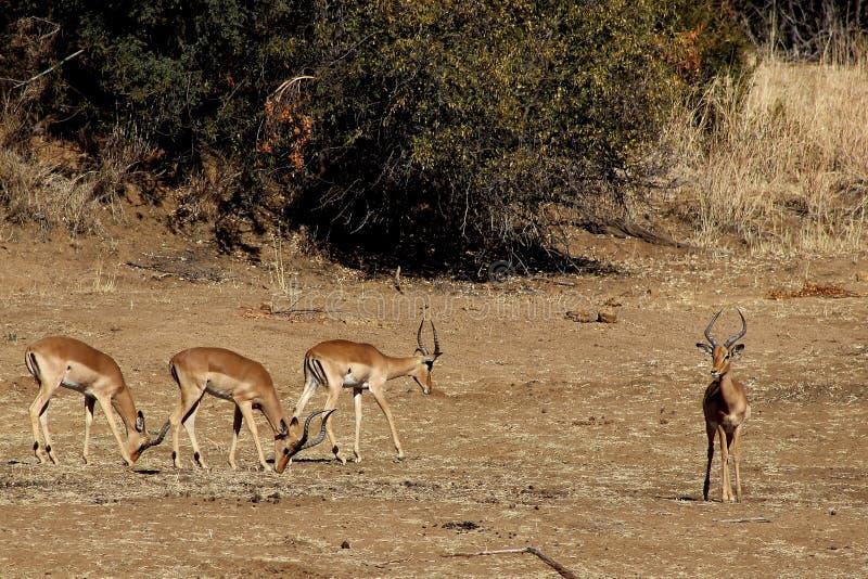 Download Impala stock image. Image of graceful, bushveld, grazing - 26090327