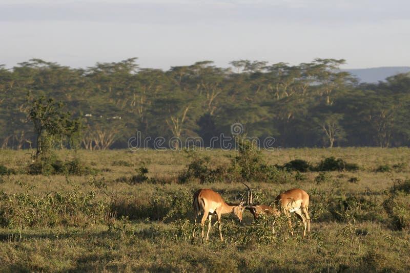 Impala lizenzfreies stockfoto