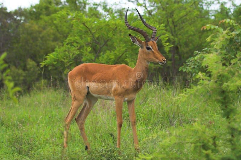 impala zdjęcie stock
