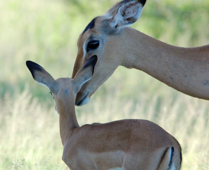 Download Impala: Aepyceros Melampus stock photo. Image of dependance - 6675524