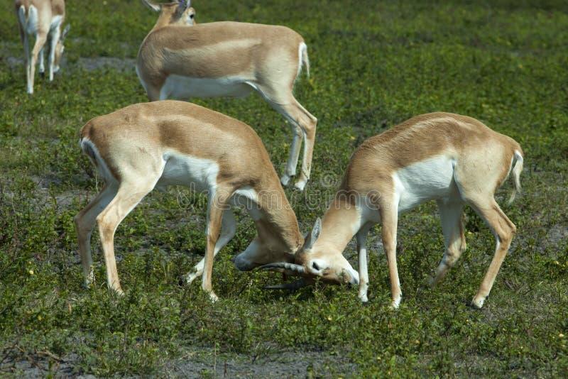 Impala (Aepyceros melampus) zdjęcia stock