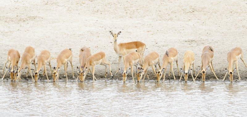 Impala Aepyceros melampus herd drinking at waterhole royalty free stock image