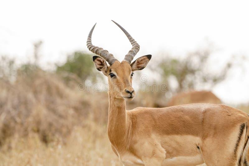 Impala ( Aepyceros melampus) i Kruger parkera, Sydafrika arkivfoto