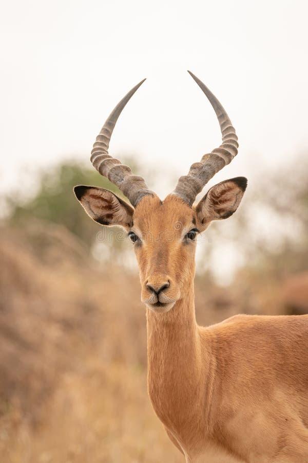 Impala (Aepyceros melampus) in Kruger Park, South Africa royalty free stock photos