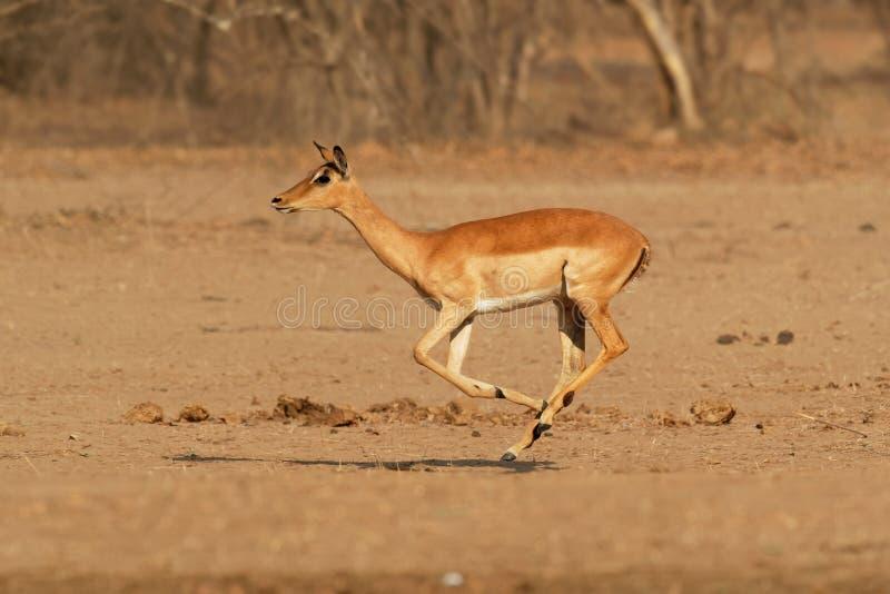 Impala - Aepyceros melampus medium-sized antelope found in eastern and southern Africa. The sole member of the genus Aepyceros, stock photo