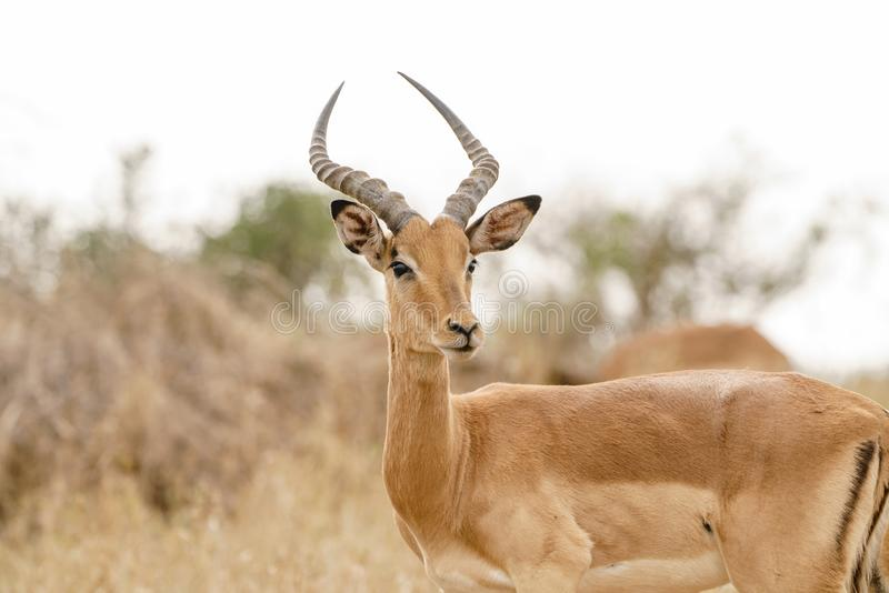 Impala ( Aepyceros melampus) no parque de Kruger, África do Sul foto de stock