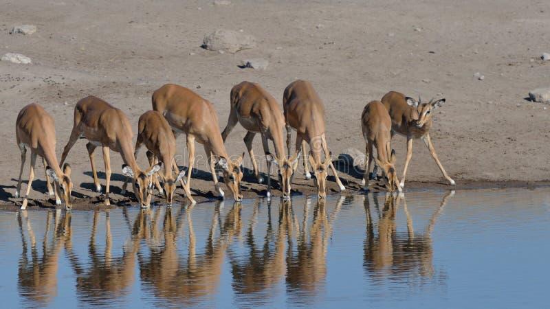 Impala affrontata nera assetata fotografie stock