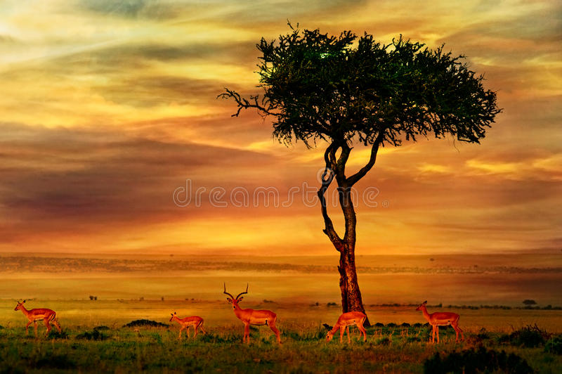 Impala at African Sunset royalty free stock images
