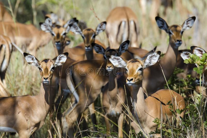 The impala. Is also known as the high antelope, an animal of the genus Bovidus. It weighs 40-60 kg and has a shoulder height of about 75-100 cm. Agile, fast royalty free stock photos
