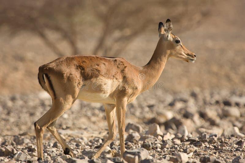 Download Impala antelope stock image. Image of safari, male, mammals - 10433423