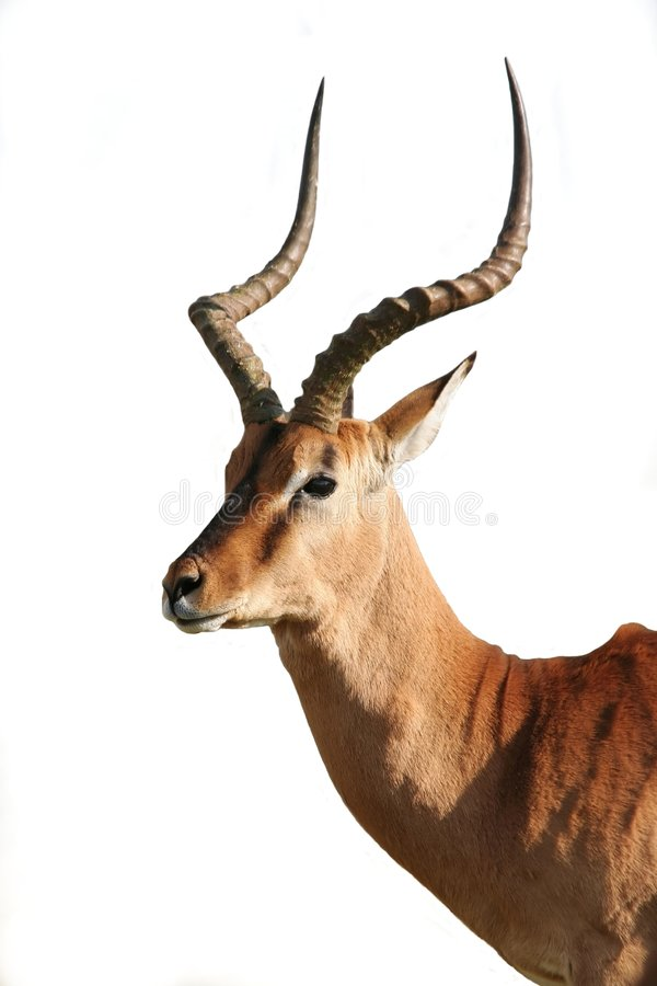 Impala Antelope - Isolated stock image