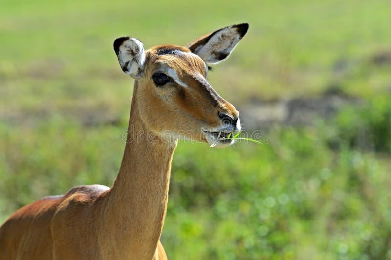 Download Impala antelope stock photo. Image of grazing, mara, animal - 39513942