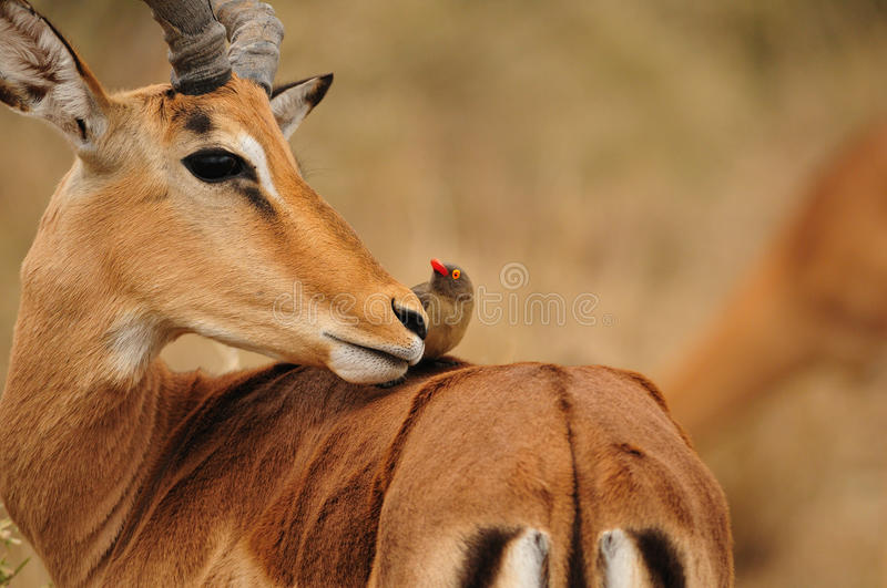 Download Impala Antelope And Oxpecker Stock Image - Image: 21365041