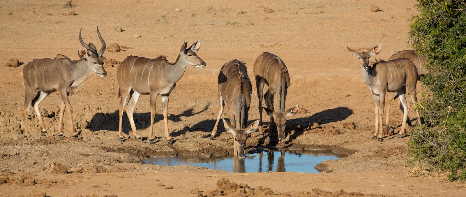Impala Antelope Quenching Thirst at a Water Hole royalty free stock photos