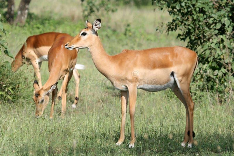 impala antelope serengeti tanzania africa stock image. Black Bedroom Furniture Sets. Home Design Ideas