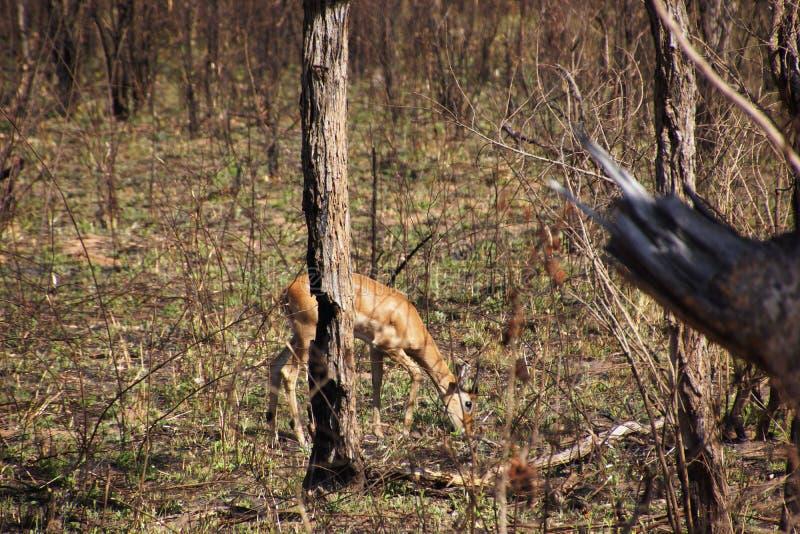Impala antelope in south african bush stock image