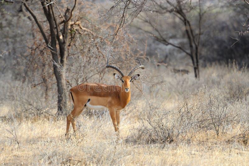 Impala stock photography
