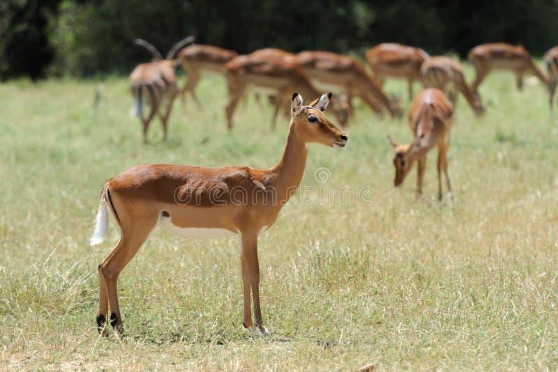 Impala royalty free stock photos