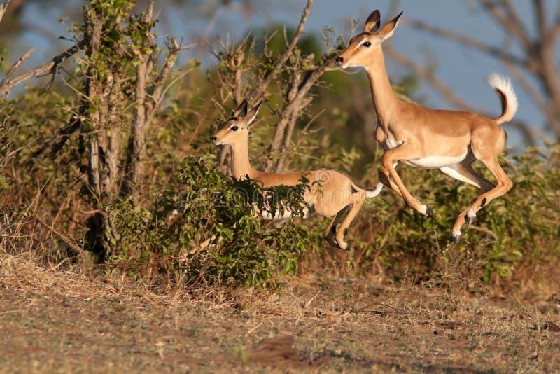 impala bieg zdjęcie royalty free
