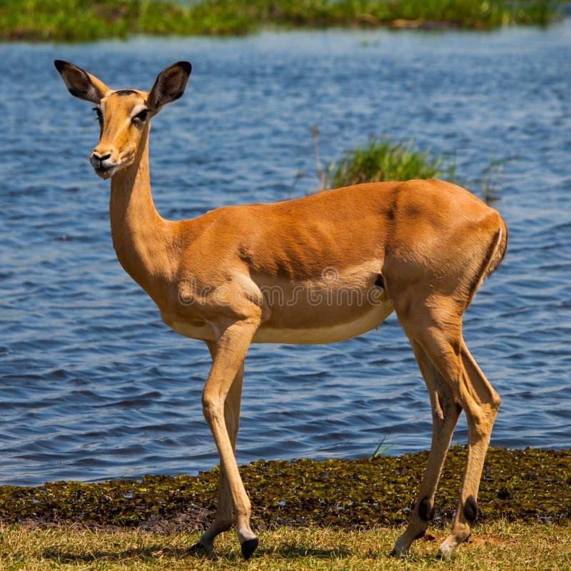 Impala bij waterhole royalty-vrije stock afbeeldingen