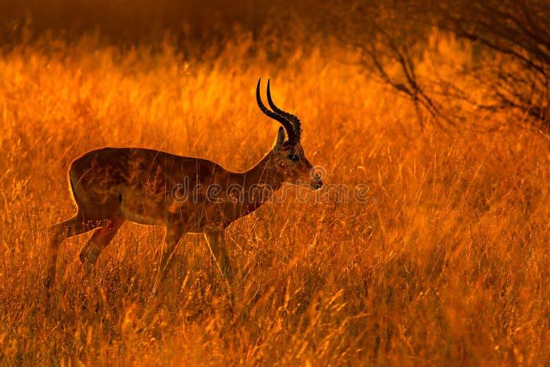 Impala bonita na grama com sol da noite Animal no habitat da natureza Por do sol em animais selvagens de África fotografia de stock