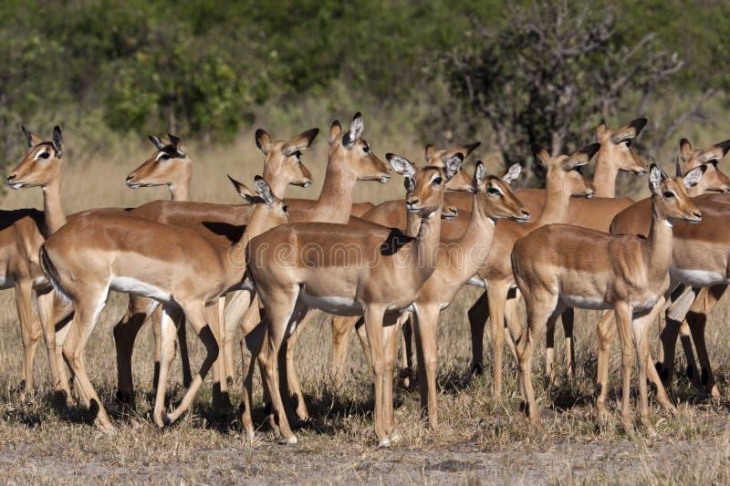 Impala - Botswana Stock Photos