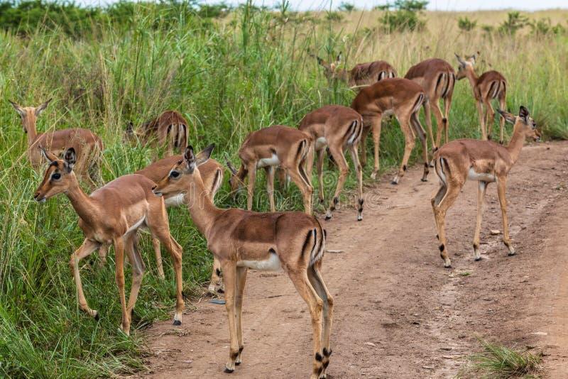 Impala Buck Calfs Wildlife Royalty Free Stock Image