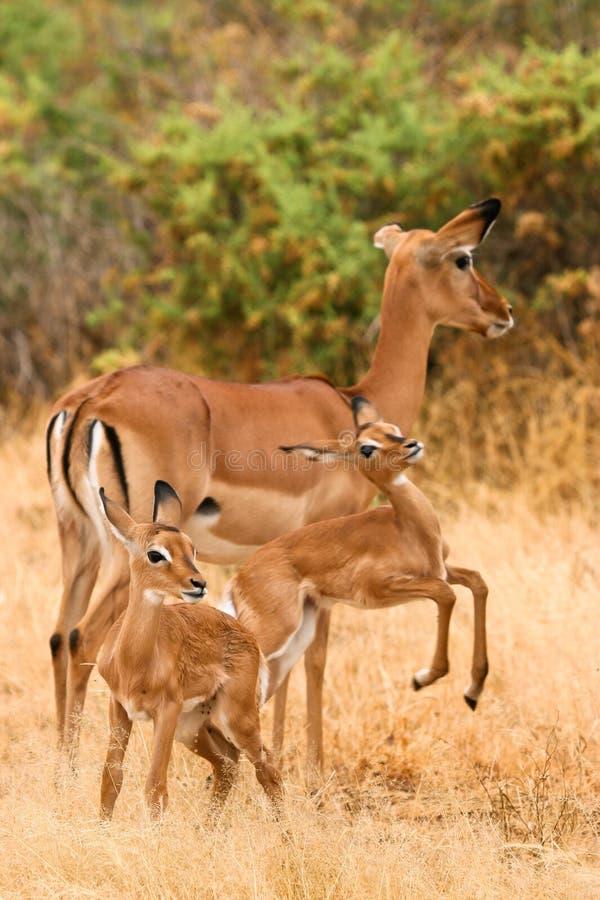 Impala con i giovani impalas, Samburu, Kenia immagini stock