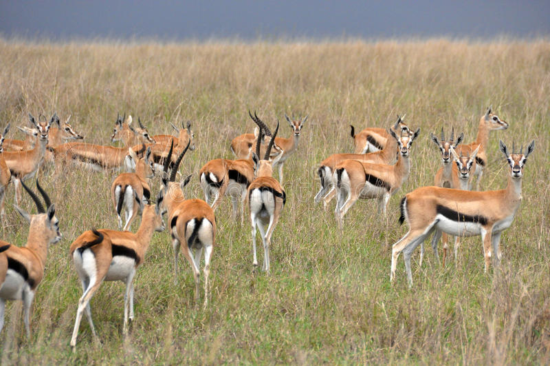 Impala dans le sauvage image stock