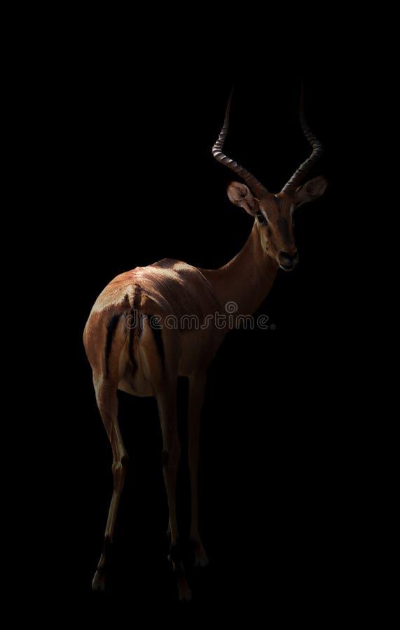 Impala in dark royalty-vrije stock afbeeldingen