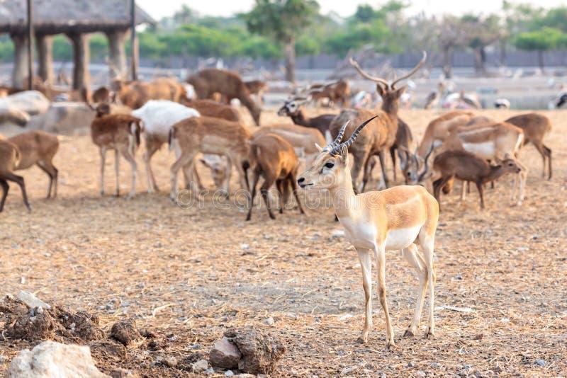 Impala de mâle de Brown photo libre de droits