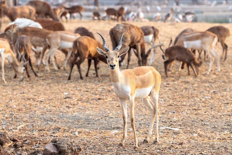 Impala de mâle de Brown photo stock