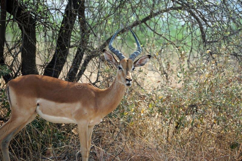 Impala debajo de un árbol imagen de archivo