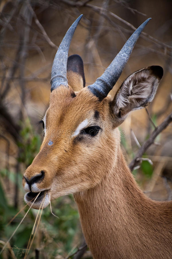 Impala, der Gras kaut stockfotos