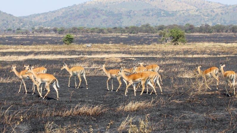 Impala die op gebrand land lopen stock foto