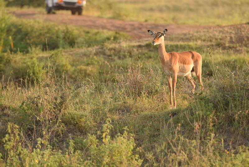 Impala durante o nascer do sol no parque nacional kenya de Nairobi durante o safari foto de stock royalty free