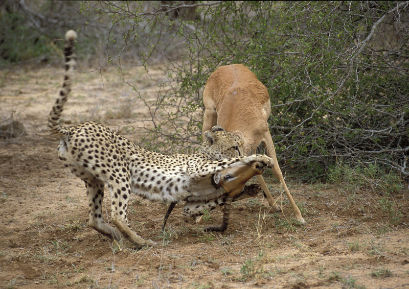 Impala e gepard imagem de stock royalty free