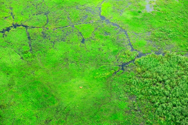 Impala e paisagem aérea no delta de Okavango, Botswana Lagos e rios, vista do avião Vegetação verde em África do Sul T fotos de stock royalty free
