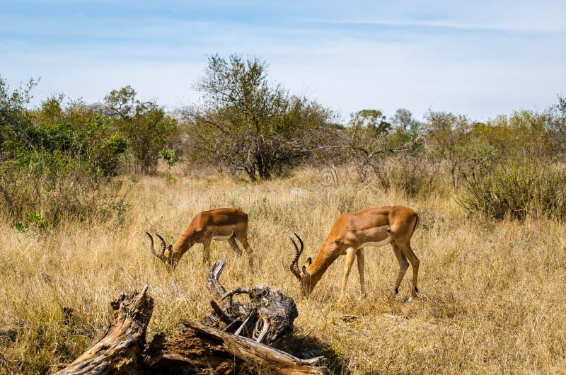 Impala eating grass, Kruger park, South Africa. Safari animal royalty free stock images