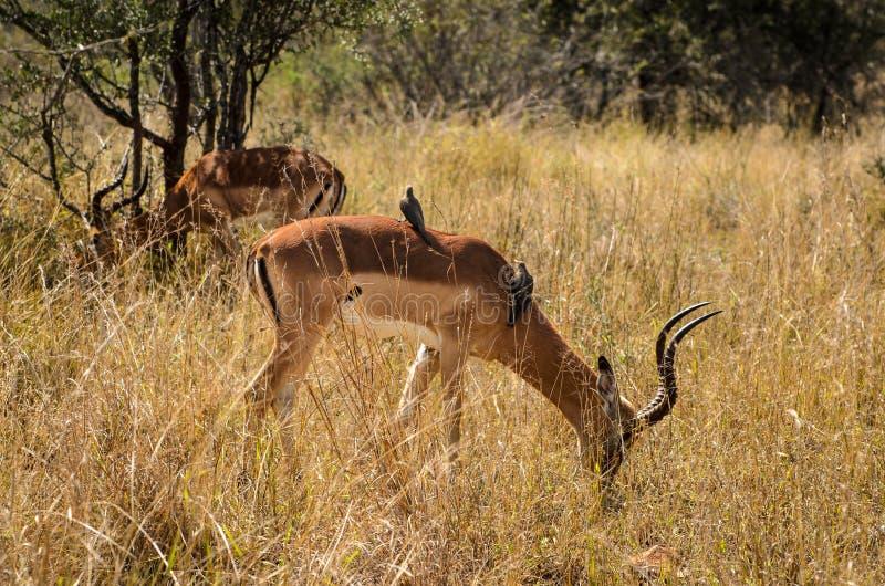 Impala eating grass, Kruger park, South Africa. Safari animal stock images
