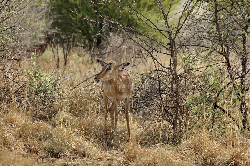Impala en el parque nacional de Pilanesberg imágenes de archivo libres de regalías