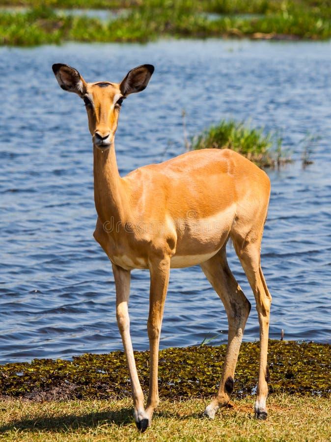 Impala en el waterhole imagenes de archivo