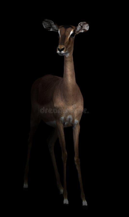 Impala en la oscuridad fotos de archivo libres de regalías